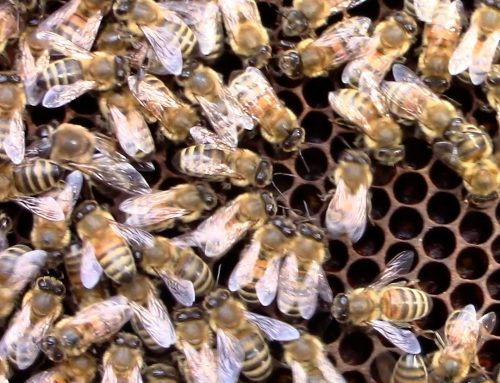 How a Bee Colony works